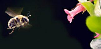 abelha voando próxima a uma flor