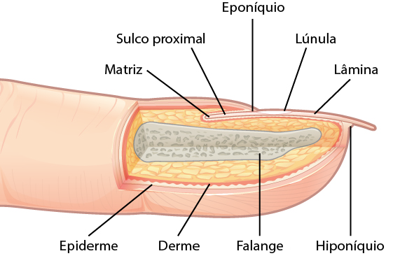 Estrutura da unha com matriz e hiponíquio