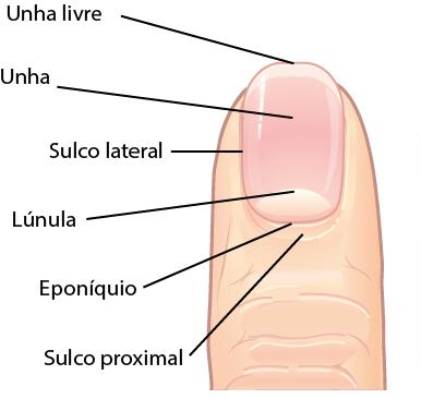 Estrutura da unha humana.
