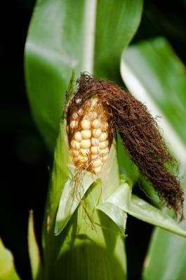 o cabelo com aspecto de cabelo de milho pode ser evitado com lavagem e condicionamento apropriados