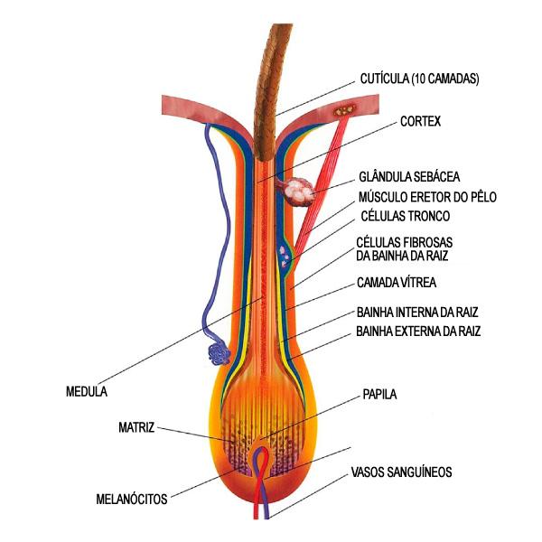 O folículo piloso é subdividido em diversas regiões, cada uma com uma função na constituição das hastes dos fios. crescimento do cabelo Ciclo de crescimento dos cabelos (estrutura e fisiologia) Parte 1 Estrutura do fio de cabelo