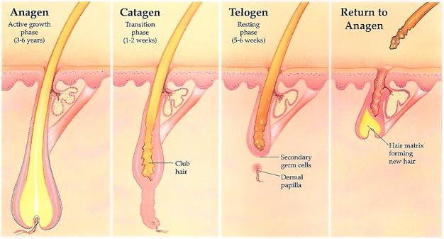 crescimento do cabelo Ciclo de crescimento dos cabelos (estrutura e fisiologia) Parte 1 ciclo de crescimento capilar